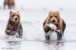 گهمه کردنی ورچهکانی ئالاسکا