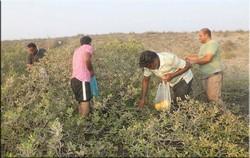 جمع آوری ۲۰ هزار بذر از جنگلهای حرا در میناب