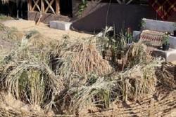نخستین جشنواره «خرمن» در روستای واقعه دشت صومعه سرا برگزار می شود