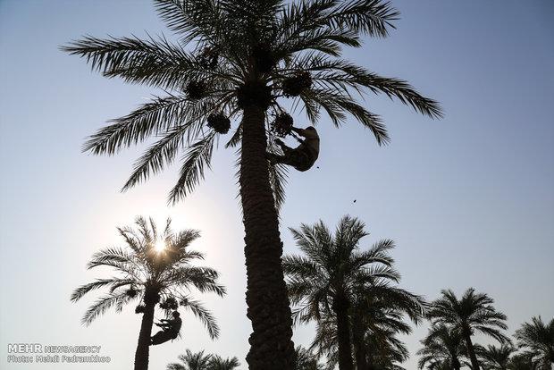 علت ناپدید شدن نخل های مرکز شهر اهواز چیست؟