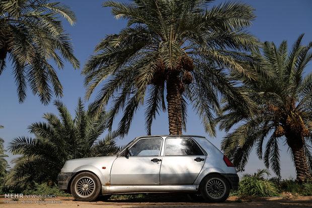 جني التمور في مدينة استعمران بمحافظة خوزستان