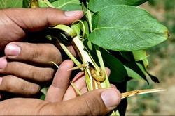 ۱۰ میلیارد تومان برای مقابله با آفات گیاهی در اصفهان نیاز است