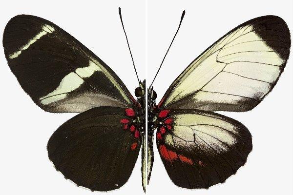 تغییر نقش بال های پروانه با اصلاح ژنتیکی