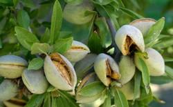 ۱۴ هزار هکتار  باغ بادام  در چهارمحال و بختیاری وجود دارد