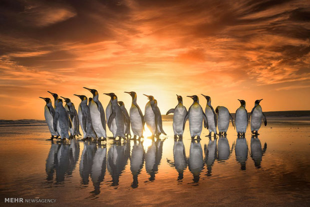 رژه پنگوئن ها در هنگام غروب آفتاب