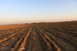 کشت غلات پاییزه در دهلران آغاز شد