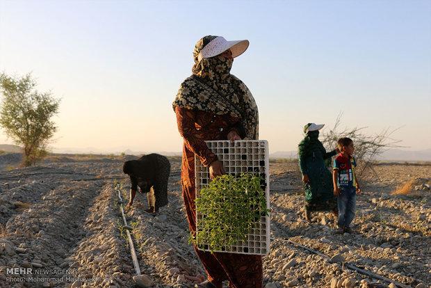 کشت نشاء گوجه فرنگی در اراضی کشاورزی هشت بندی هرمزگان
