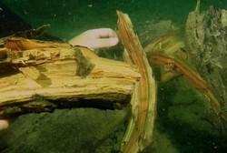 کشف جنگل سرو ۶۰ هزار ساله زیرآبی در مکزیک