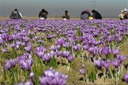 پشتپرده توسعه کشت زعفران در افغانستان/برگ برنده طلای سرخ افغانی