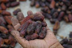 جزئیات طرح خرید حمایتی خرما از کشاورزان