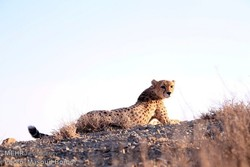 ۹ شهریور روز ملی حفاظت از یوزپلنگ آسیایی