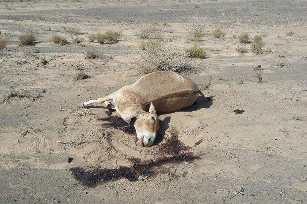 شکار غیرمجاز گور خر ایرانی در توران  - کراپشده