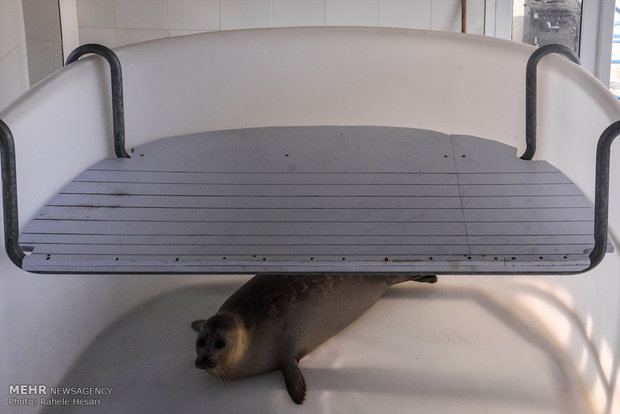 Caspian seal freed after rehab