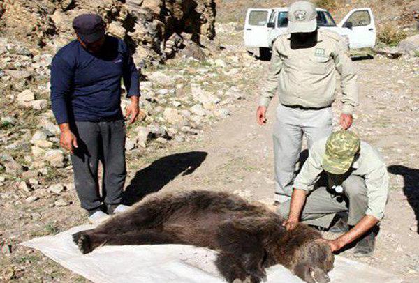 Image result for تصادف خرس در گیلانغرب