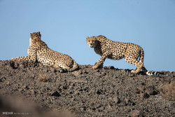 VIDEO: Asiatic cheetahs of Touran Wildlife Refuge