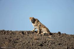 توریستهای خارجی در پارک ملی توران موفق به مشاهده یک یوزپلنگ شدند