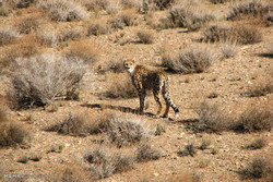 Living on the edge: Asiatic cheetah in Iran