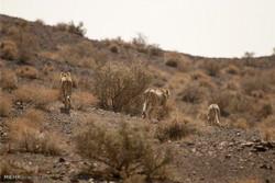 ۷ یوزپلنگ در شاهرود مشاهده شد/ رصد شکار آهو توسط یوزها