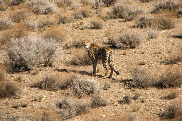 One Asiatic cheetah spotted in Qasr-e Shirin