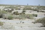 جازموریان به خاک نشست/تکرار تراژدی زیست محیطی جنوب کرمان