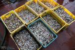 ۲۳۰۰ تن میگو دراستان بوشهر صید شد/ افزایش ۶۰ درصدی صید درسال جاری