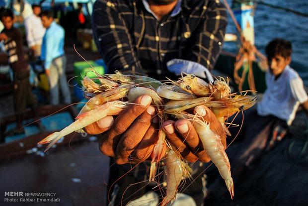 صید میگو در استان بوشهر ۶۴ درصد کاهش یافت/ قیمتها اوج گرفت