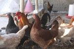 افزایش نرخ مرغ در بازار / قیمت به ۷۴۵۰ تومان رسید