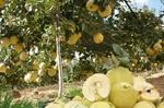 برداشت «به» از ۷۰۰ هکتار از باغ های نطنز آغاز شد