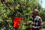 احیای سیب زنوز نیازمند عزم جدی مسئولان/ آغاز برداشت سیب از باغات