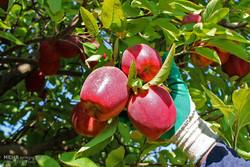 بدء فصل جني التفاح الأحمر في بساتين ارومية /صور