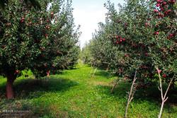 آغاز برداشت سیب از باغات ارومیه