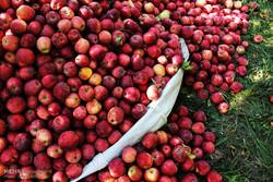 پیش بینی تولید ۳.۲میلیون تنی سیب  تا پایان سال/کاهش ۵۰۰ هزار تنی