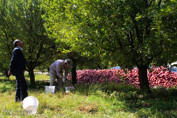 بدء فصل جني التفاح الأحمر في بساتين ارومية