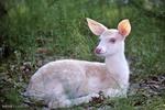 سفید حیوانات