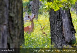 A mother deer with her baby in Chahar-Dangeh region, northern Iran (Photo: iew.ir)