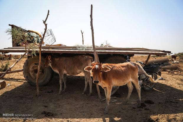 کشاورزی بی رونق شادگان تقاضا برای کمیته امداد را افزایش داد