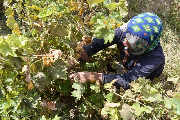 İran'da üzün hasadında yüzler gülüyor