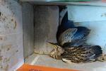 ۲ بهله پرنده شکاری در میاندوآب رها سازی شد