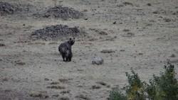 نجات خرس قهوه ای از تله شکارچیان