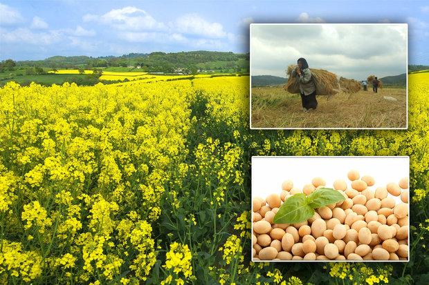 قطب تولید دانههای روغنی معطل بذر؛نان کشاورزان در روغن نیست