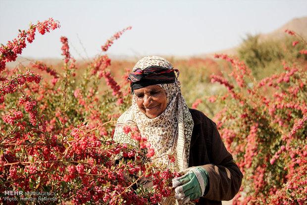 """جني محصول """"الزرشك"""" الايراني الأشهر عالمياً"""