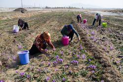 برداشت ۲۱ تن زعفران از مزارع کشاورزی  نیشابور