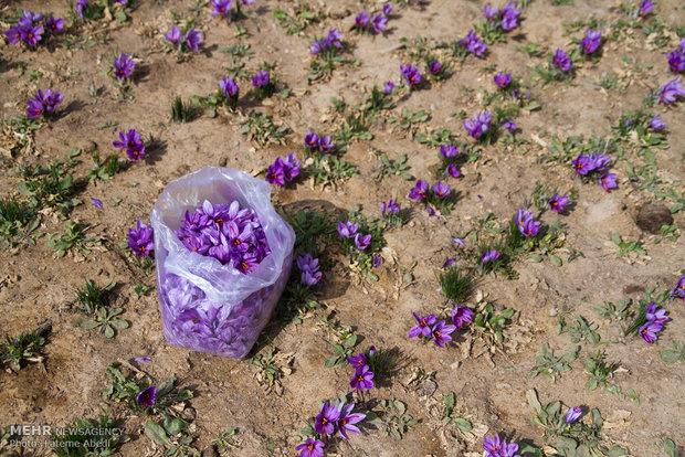 Saffron harvest in Arak