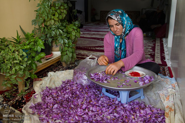 Saffron harvest in Arak