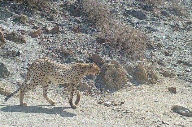 ۱۵ مشاهده یوزپلنگ در شاهرود گزارش شد/ خارتوران مکانی امن برای یوز