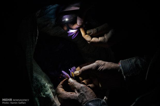 برداشت زعفران