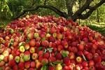 ۶۰ تن سیب از آذربایجانغربی به مناطق زلزلهزده کرمانشاه ارسال شد