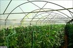 رشد ۳۸ درصدی گلخانه های کشور/ پیش بینی تولید ۲۱ میلیون تن محصول
