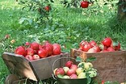 ۴۰۰هزارتن سیب در سردخانه های آذربایجان غربی ذخیره سازی شد