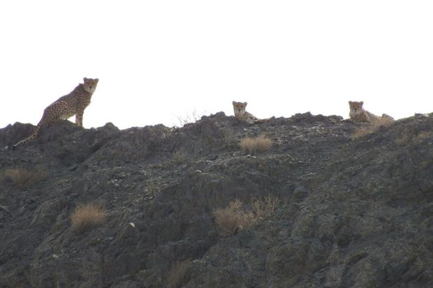 3 cheetahs spotted in Turan National Park
